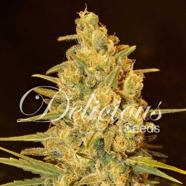 Critical Sensi Star - Samsara Seeds - Delicious Seeds