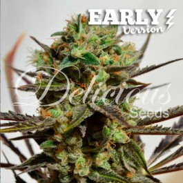 Delicious Candy Early Version - Samsara Seeds - Delicious Seeds