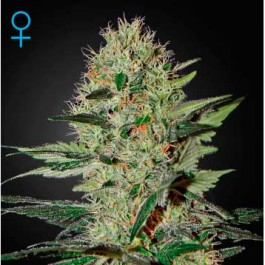 Exodus Cheese Auto - Samsara Seeds - GreenHouse