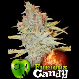 FURIOUS CANDY - Samsara Seeds - Eva Seeds