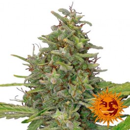 G13 HAZE - Samsara Seeds - Barney's Farm