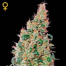 Green-O-Matic  - Samsara Seeds - GreenHouse