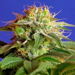 GREEN POISON - Samsara Seeds - Sweet Seeds