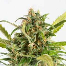 Haze Autoflowering CBD - Samsara Seeds - Dinafem