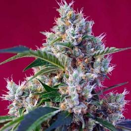 Indigo Berry Kush - Samsara Seeds - Sweet Seeds