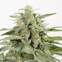 Industrial Plant Autoflowering CBD - Samsara Seeds - Dinafem
