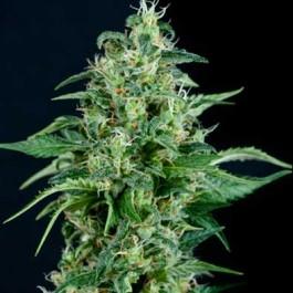 AUTO KRYPTONITE - Samsara Seeds - Pyramid Seeds