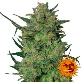 LSD - Samsara Seeds - Barney's Farm