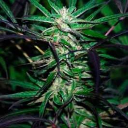 Mangobiche Kush - Regular - Samsara Seeds - Cannabiogen