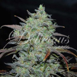 Marmalate - Samsara Seeds - Delicious Seeds