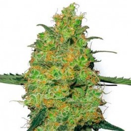 MASTER KUSH REGULAR - Samsara Seeds - Sensi White Label