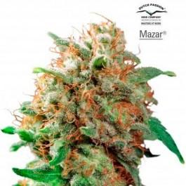 MAZAR REGULAR - Samsara Seeds - Dutch Passion