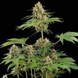 MOBY DICK - Samsara Seeds - Dinafem