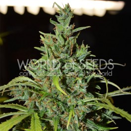 NEVILLE HAZE RYDER - Samsara Seeds - World of Seeds