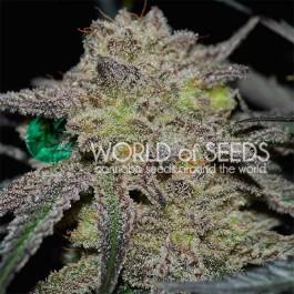 Tonic Ryder - Samsara Seeds - World of Seeds