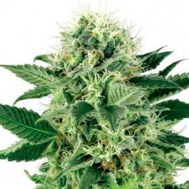 Northern Lights Fem - Samsara Seeds - Sensi Seeds