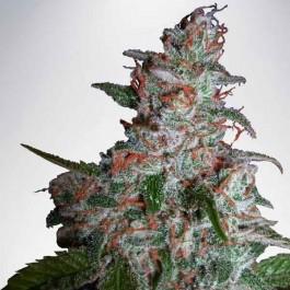 Northern Lights MOC - Samsara Seeds - Ministry of Cannabis