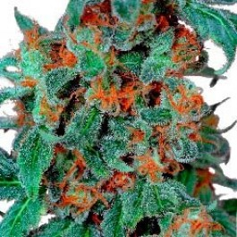 Orange Bud - Samsara Seeds - Dutch Passion