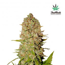 PINEAPPLE EXPRESS - Samsara Seeds - FastBuds