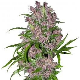 Purple Bud Automatic - Samsara Seeds - Sensi White Label