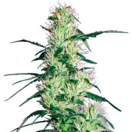 PURPLE HAZE FEM - Samsara Seeds - Sensi White Label