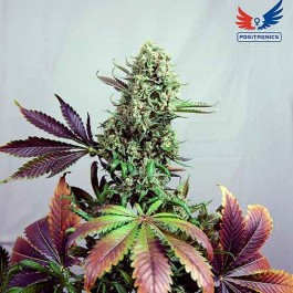 Purple Haze #1 - Samsara Seeds - Positronics