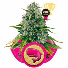 ROYAL MOBY - Samsara Seeds - Royal Queen Seeds
