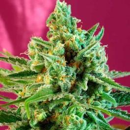 S.A.D. Sweet Afgani Delicious CBD - Samsara Seeds - Sweet Seeds
