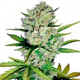 SUPER SKUNK AUTOMATIC - Samsara Seeds - Sensi White Label