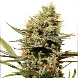 The Edge - Samsara Seeds - Dutch Passion