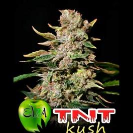 TNT KUSH - Samsara Seeds - Eva Seeds