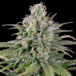 UK CHEESE AUTO - Samsara Seeds - Humboldt Seeds