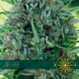 AK-49 AUTO - Samsara Seeds - Vision Seeds
