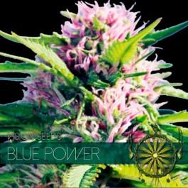 BLUE POWER - Samsara Seeds - Vision Seeds
