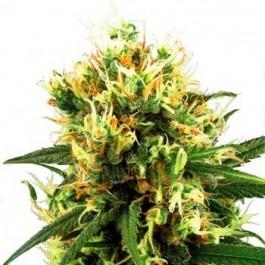 WHITE HAZE AUTOMATIC - Samsara Seeds - Sensi White Label