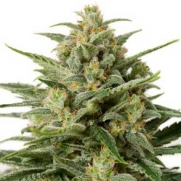 WHITE WIDOW XXL AUTO - Samsara Seeds - Dinafem