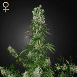 White Strawberry Skunk - Samsara Seeds - Strain Hunters