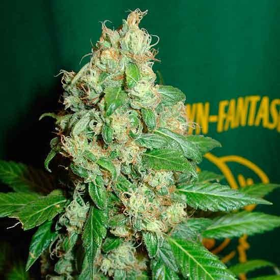 Ac Diesel  - 5 seeds - Fantaseeds - Seed Banks