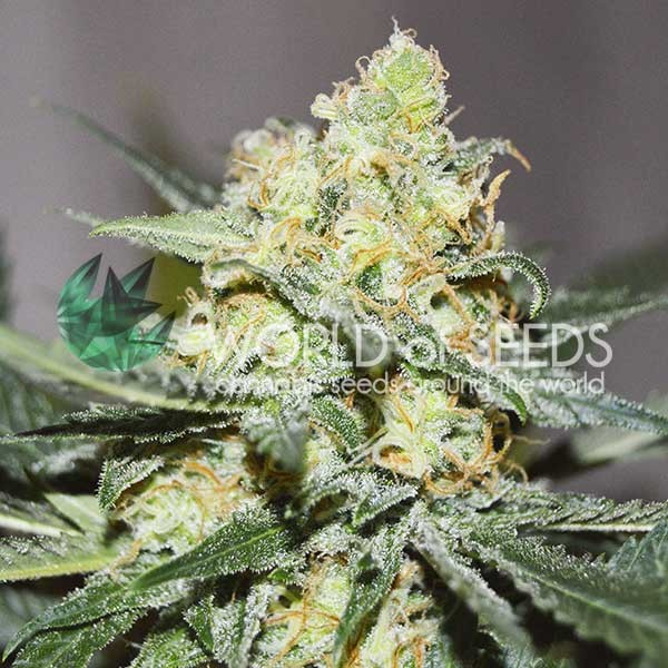 Afghan Kush x Skunk - World of Seeds - Seed Banks