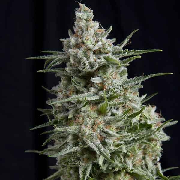 Anesthesia CBD - Pyramid Seeds - Seed Banks