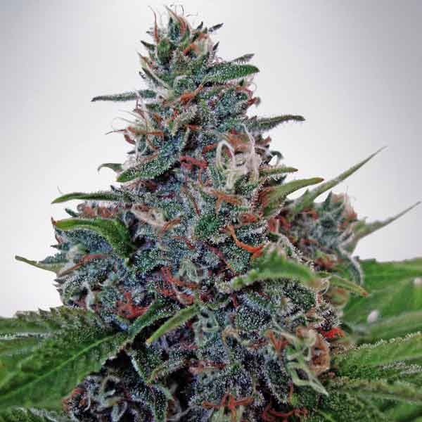 Auto Blue Amnesia - Ministry of Cannabis - Seed Banks