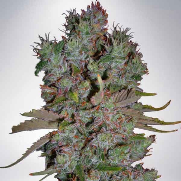 Auto Blueberry Domina - Ministry of Cannabis - Seed Banks