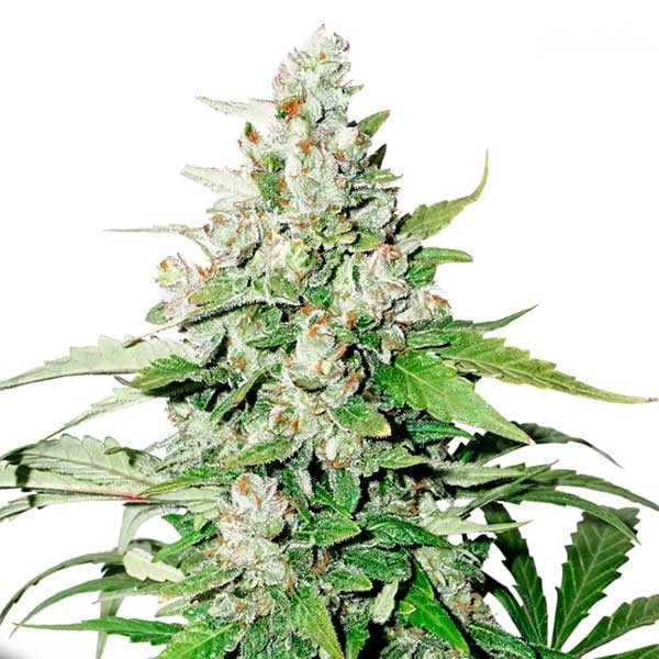 Auto Cinderella Jack - Dutch Passion - Seed Banks