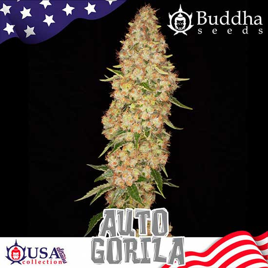 AUTO GORILA - Buddha Seeds - Seed Banks