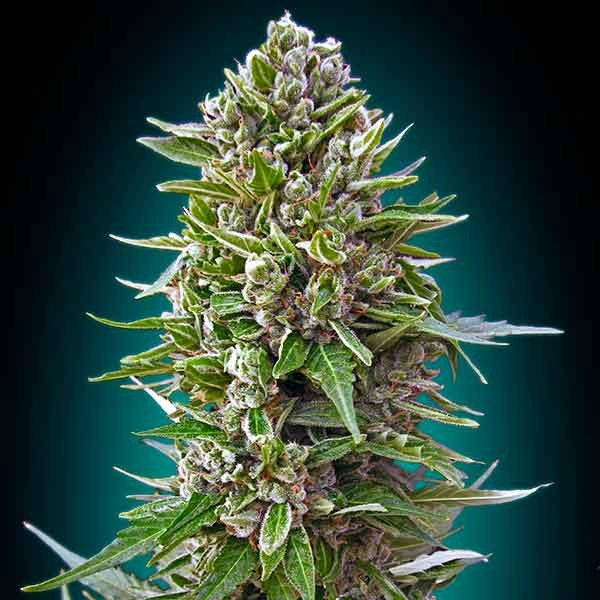 Auto Northern Lights - 00 Seeds - Seed Banks
