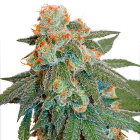 Auto Orange Bud - Dutch Passion - Seed Banks