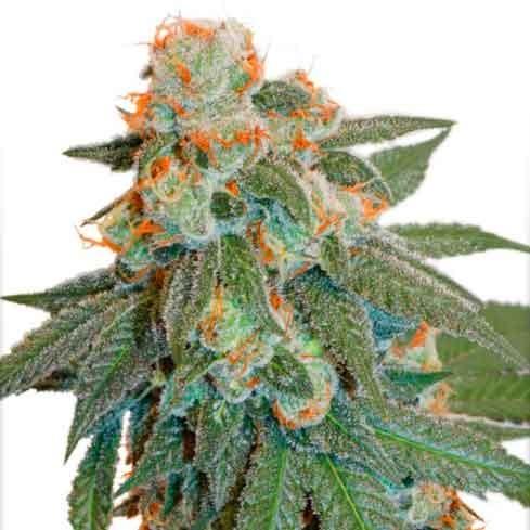 Auto Orange Bud - Dutch Passion - Seed Banks