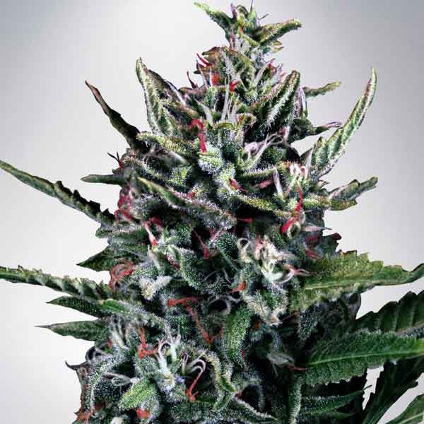 Auto Silver Bullet - Ministry of Cannabis - Seed Banks