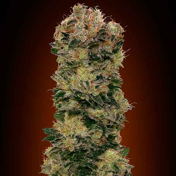 Auto Sweet Soma - 5 seeds - 00 Seeds - Seed Banks