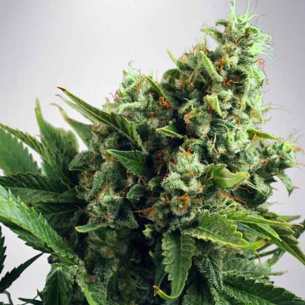 Auto White Widow - Ministry of Cannabis - Seed Banks